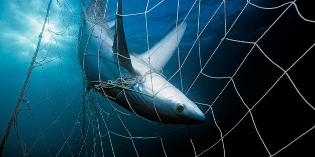 Thresher Shark (Alopias vulpinus) caught in gill net. Huatampo, Mexico. Gulf of California, Pacific Ocean