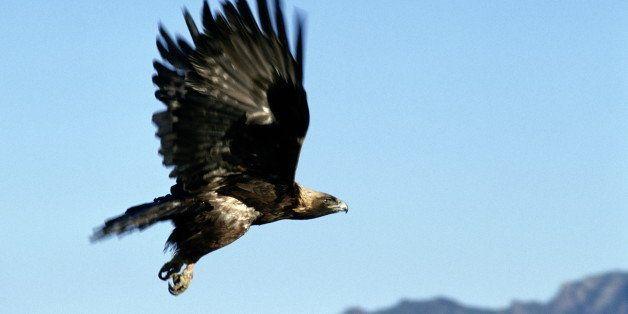 GOLDEN EAGLE, NORTH AMERICA