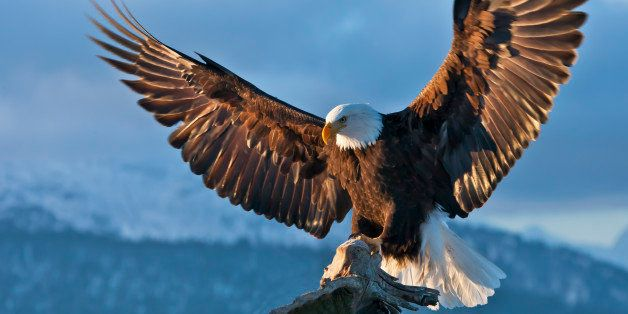 Bald Eagle spreading wings