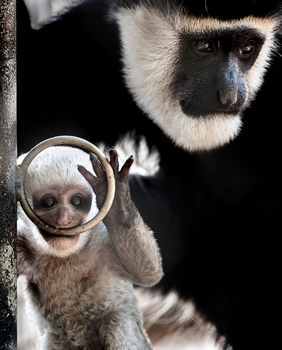 This Sept. 26, 2013, photos shows a baby black-and-white colobus monkey with its mother Kianga at the Santa Ana Zoo at Prenti