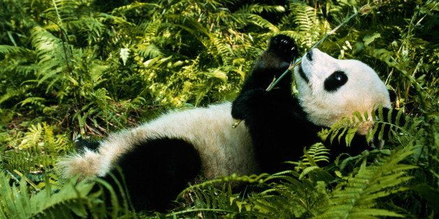 Wolong Nature Reserve. Native to very restricted areas in extreme west of China. Status of Giant panda is exceedingly vulnera