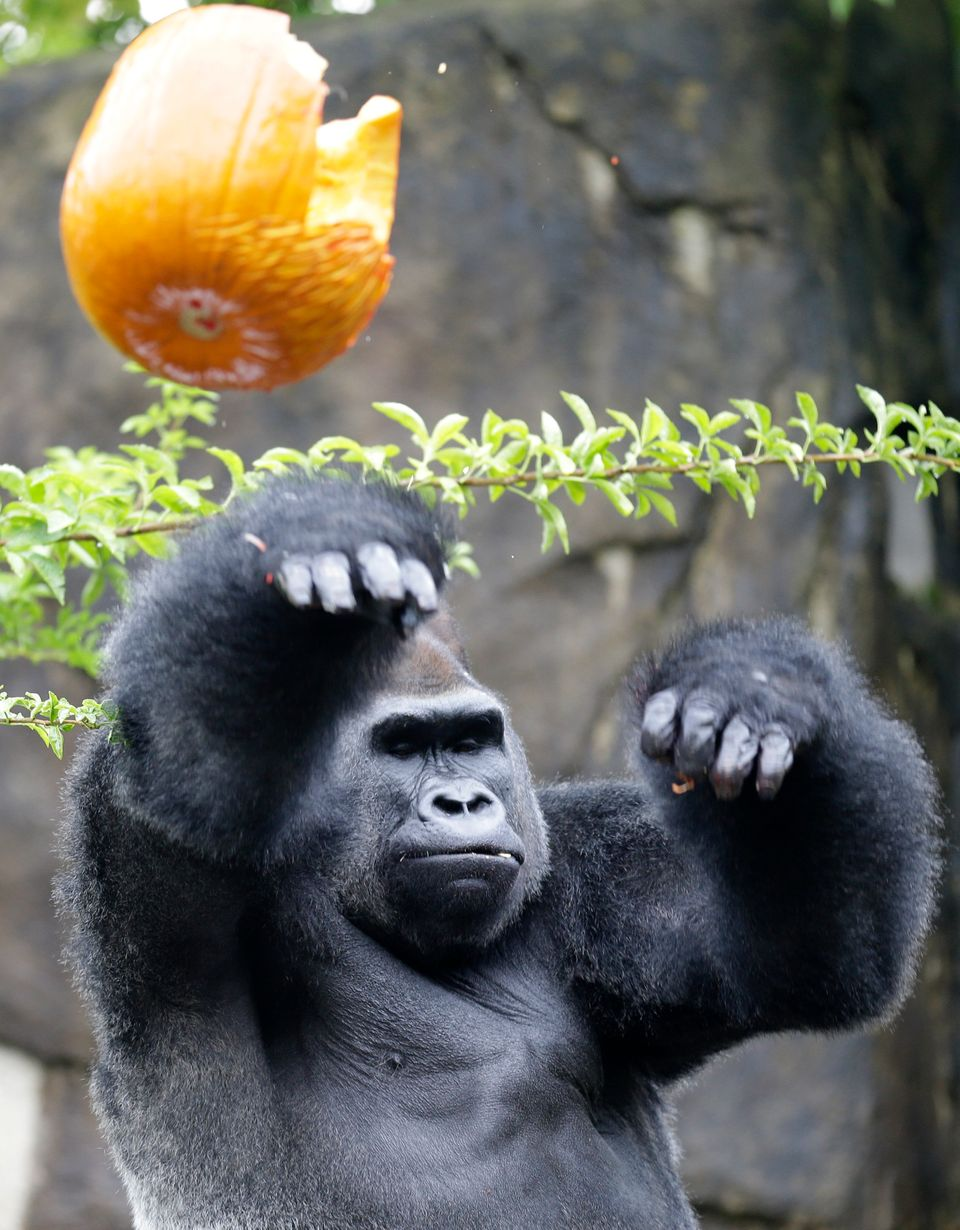 Jomo, a silverback gorilla, throws a Halloween pumpkin, Thursday, Oct. 3, 2013, at the Cincinnati Zoo in Cincinnati. The gori