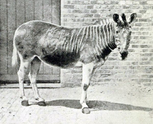 "The Quagga (<em><a href=""http://www.iucnredlist.org/details/7957/0"" target=""_blank"">Equus quagga ssp. quagga</a></em>) was a"