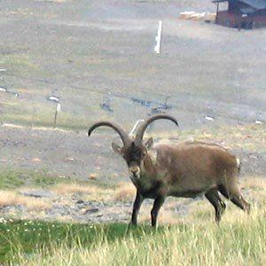 """The Pyrenean ibex (<em><a href=""""http://www.iucnredlist.org/details/3798/0"""" target=""""_blank"""">Capra pyrenaica pyrenaica</a></em>"""