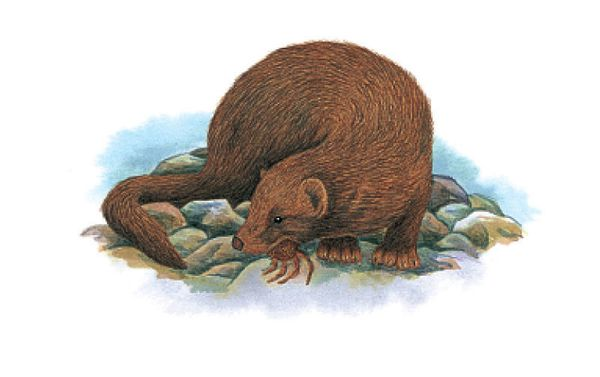 "The sea mink (<em><a href=""http://www.iucnredlist.org/details/40784/0"" target=""_blank"">Neovison macrodon</a></em>) once <a hr"