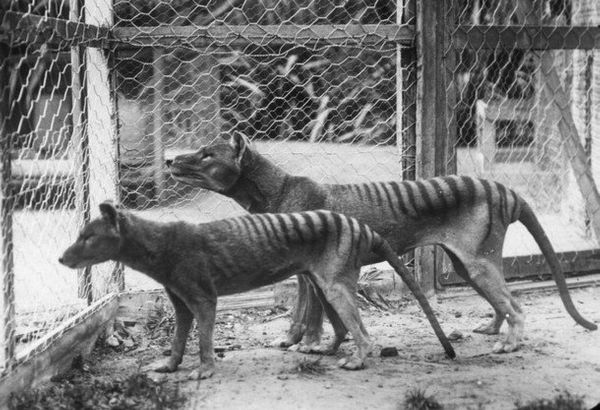 "Know as Tasmanian tigers due to their stripes, thylacines (<em><a href=""http://www.iucnredlist.org/details/21866/0"" target=""_"
