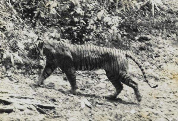 "The Javan tiger (<em><a href=""http://www.iucnredlist.org/details/41681/0"" target=""_blank"">Panthera tigris ssp. sondaica</a></"