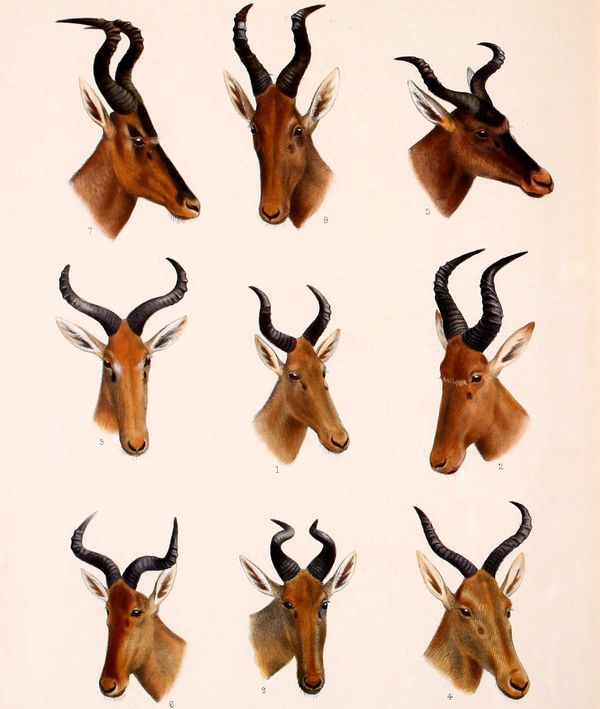 "The Bubal hartebeest, or Bubal antelope, (<em><a href=""http://www.iucnredlist.org/details/813/0"" target=""_blank"">Alcelaphus b"