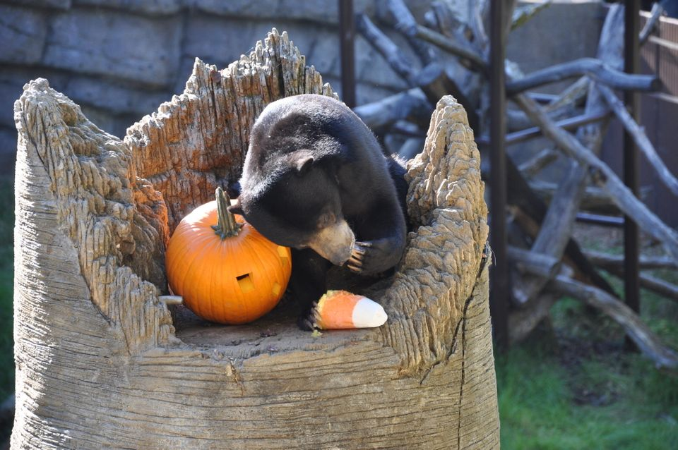 Sun bear enjoying her pumpkin and candy corn treat made of jello.