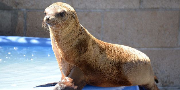 TO GO WITH AFP STORY BY MICHAEL THURSTON - A young sea lion recovers at the Marine Mammal Care Center at Fort MacArthur on Ap