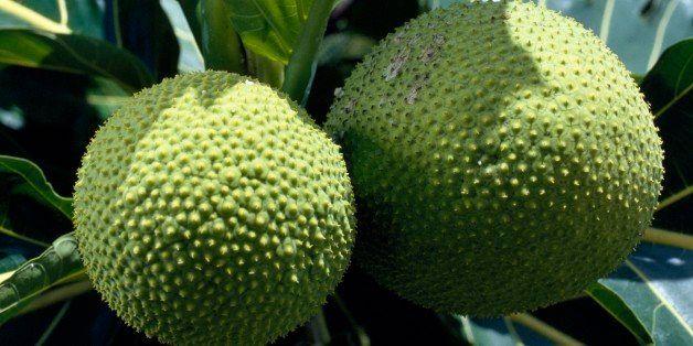 FRENCH POLYNESIA - OCTOBER 17: Fruit of the Breadfruit (Artocarpus altilis), Moraceae, French Polynesia (French Overseas Terr