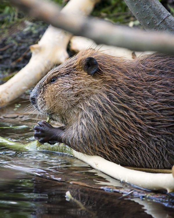 <font> Beavers have transparent eyelids so they can see underwater with their eyes shut. </font>