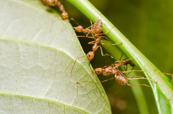 <font> The 100,000 trillion ants in the world weigh about the same as all human beings. </font>