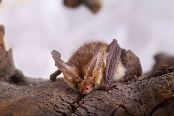 <font> There are more than 1,200 species of bat in the world and not one of them is blind. </font>