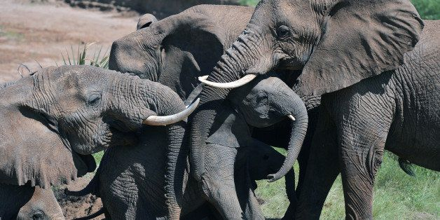 Elephants help an elephant calf up a slope after fording the Ewaso Nyiro river in Samburu game reserve on May 8, 2013. UNEP g
