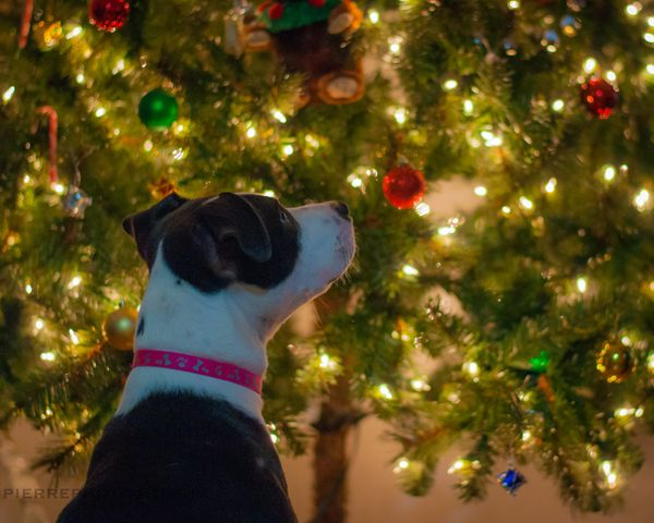 Consider having an artificial Christmas tree, but if you do have a natural one, make sure your dog doesn't swallow the pine n
