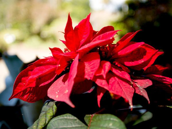 Poinsettias, holly, and mistletoe should be kept out of your dog's reach, as they can be poisonous to pets.