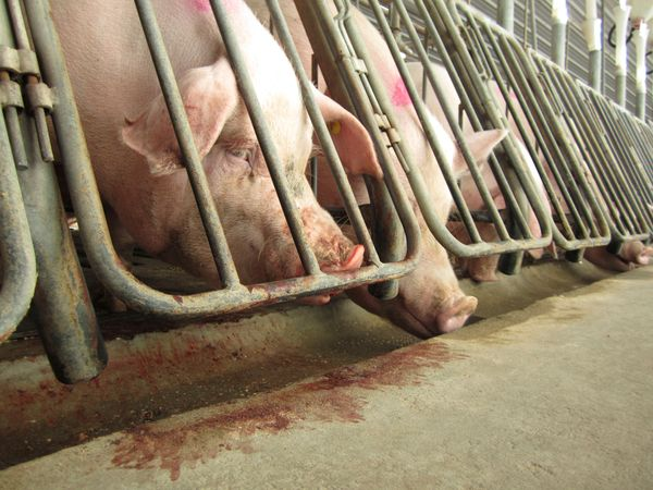 Gestation crates are small cages that confine pregnant sows in terrible, cramped positions for the majority of their lives. L