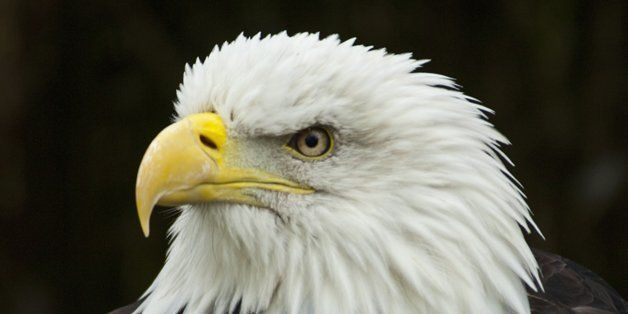 Bald Eagle, Haliaeetus Leucocephalus, adult female head study, Gauntlet Raptor Centre, Cheshire, England, United Kingdom. (Ph