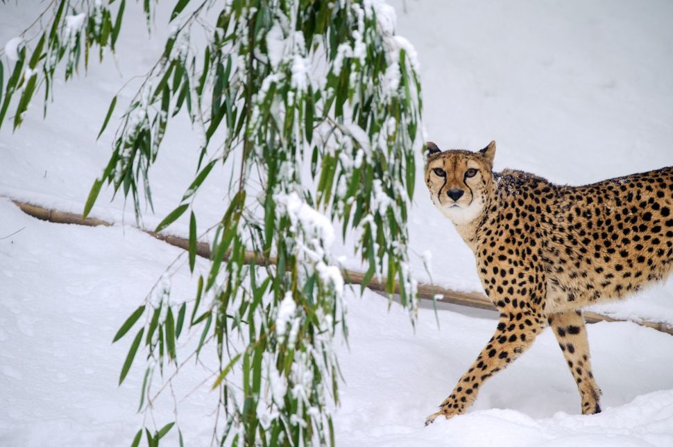 A cheetah walks in the snow at Mulhouse zoo, on February 12, 2013. (SEBASTIEN BOZON/AFP/Getty Images)
