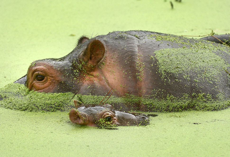 This photo, made Wednesday, Oct. 9, 2013, shows a baby hippo, foreground, that was born Oct. 3 at the Gulf Breeze Zoo in Gulf