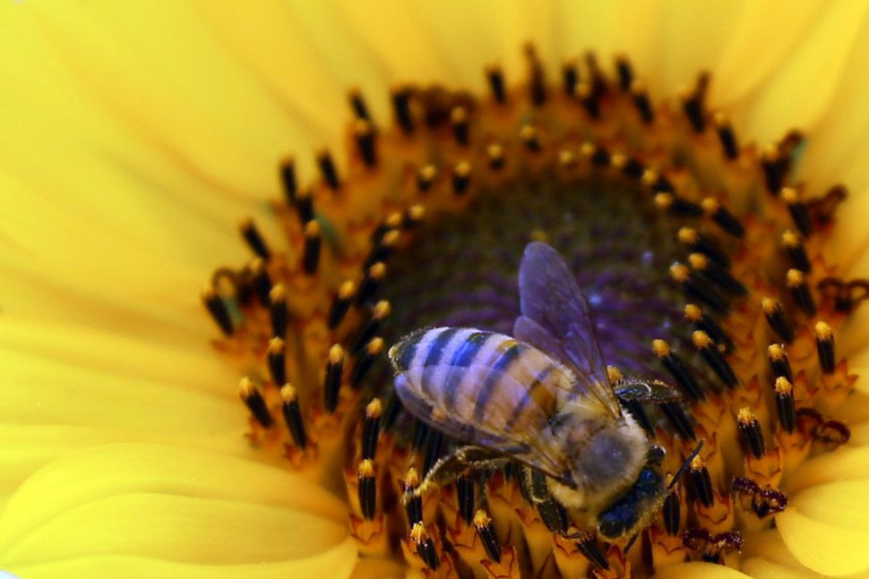 A bee collects pollen from a yellow flower on May 17, 2013 in Baghdad. (ALI AL-SAADI/AFP/Getty Images)