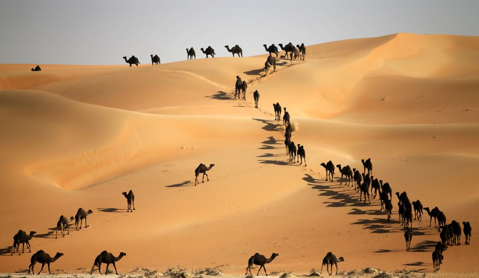 Camels walk along sand dunes in the Liwa desert, 220 kms west of Abu Dhabi, as the Mazayin Dhafra Camel Festival takes place