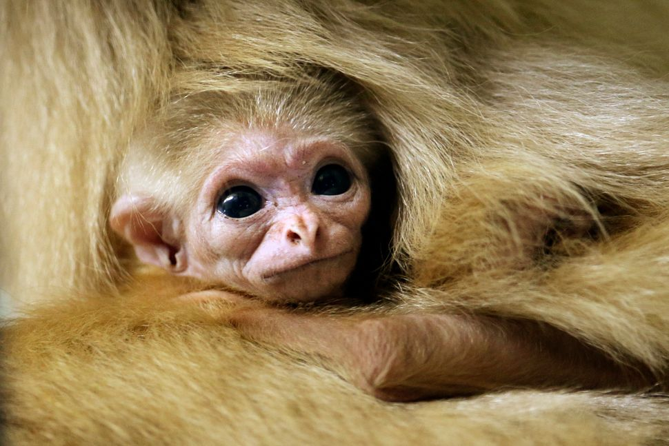 A white-handed gibbon, yet to be named, clings to his mother 24-year-old Phoenice, Thursday, Nov. 21, 2013, at the Philadelph