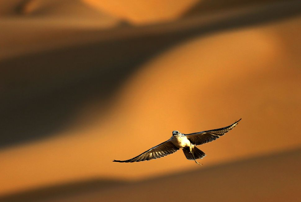 A falcon flies over the Liwa desert, 220 kms west of Abu Dhabi, on the sidelines of the Mazayin Dhafra Camel Festival on Dece