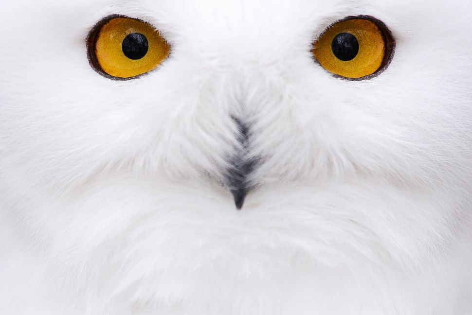 A snowy owl sits in its compound at the zoological garden during low temperatures in Hof, southern Germany, Tuesday, Nov. 5,