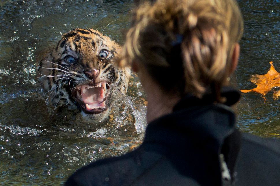 """A three-month-old Sumatran tiger cub named """"Bandar"""" reacts after being dunked in the tiger exhibit moat for a swimming test a"""