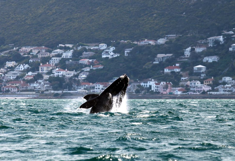 A Southern right whale breaches near the shore of Muizenberg Beach in False Bay, Cape Town on October 11, 2013. (JENNIFER BRU