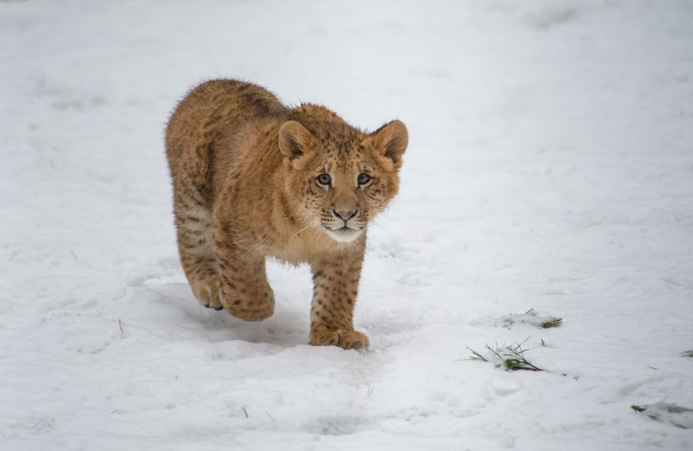 A six-month old female liliger cub Eva plays in the snow in a Zoo in Novosibirsk, Russia, Thursday, Dec. 5, 2013. (AP Photo /