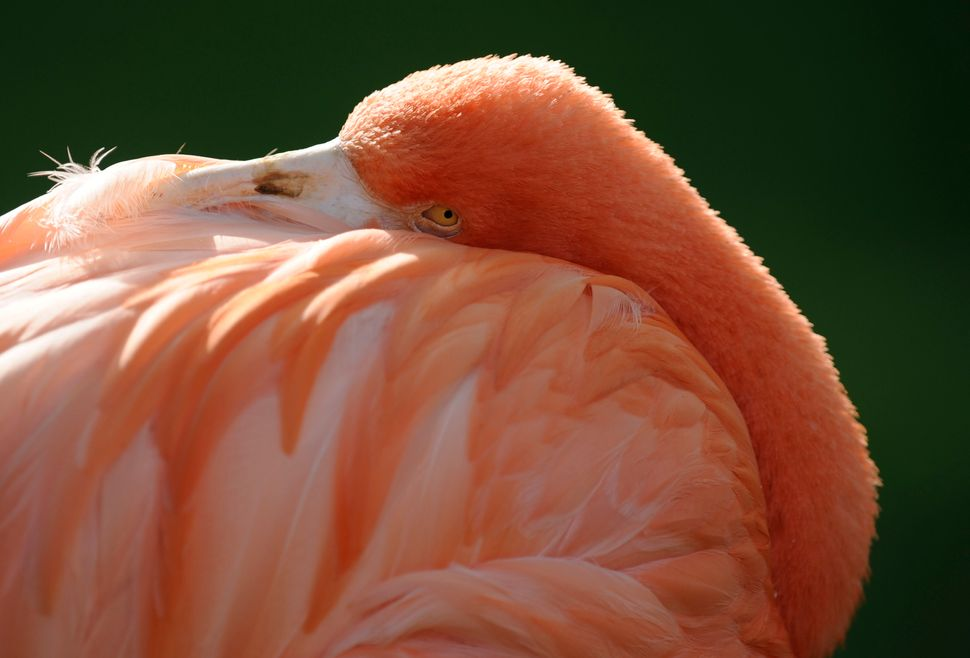 A pink flamingo is seen on October 3, 2013 at the Zoological Center of Antwerp. (JOHN THYS/AFP/Getty Images)