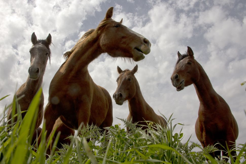 A picture taken on March 8, 2013 shows horses in a field along the border between Syria and Israel, in the Golan Heights. (JA