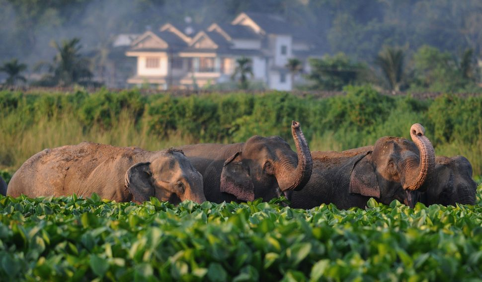 A herd of wild elephants from the nearby Rani Forest reserve eat water hyacinths in the wetlands at Deepor Beel on the outski