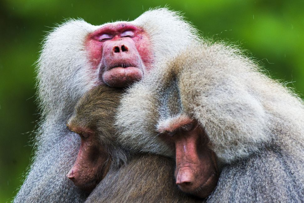 The hamadryas baboons behave strangely at the Emmen Zoo in Emmen, inNetherlands, on July 31, 2013.  (VINCENT JANNINK/AFP/Gett
