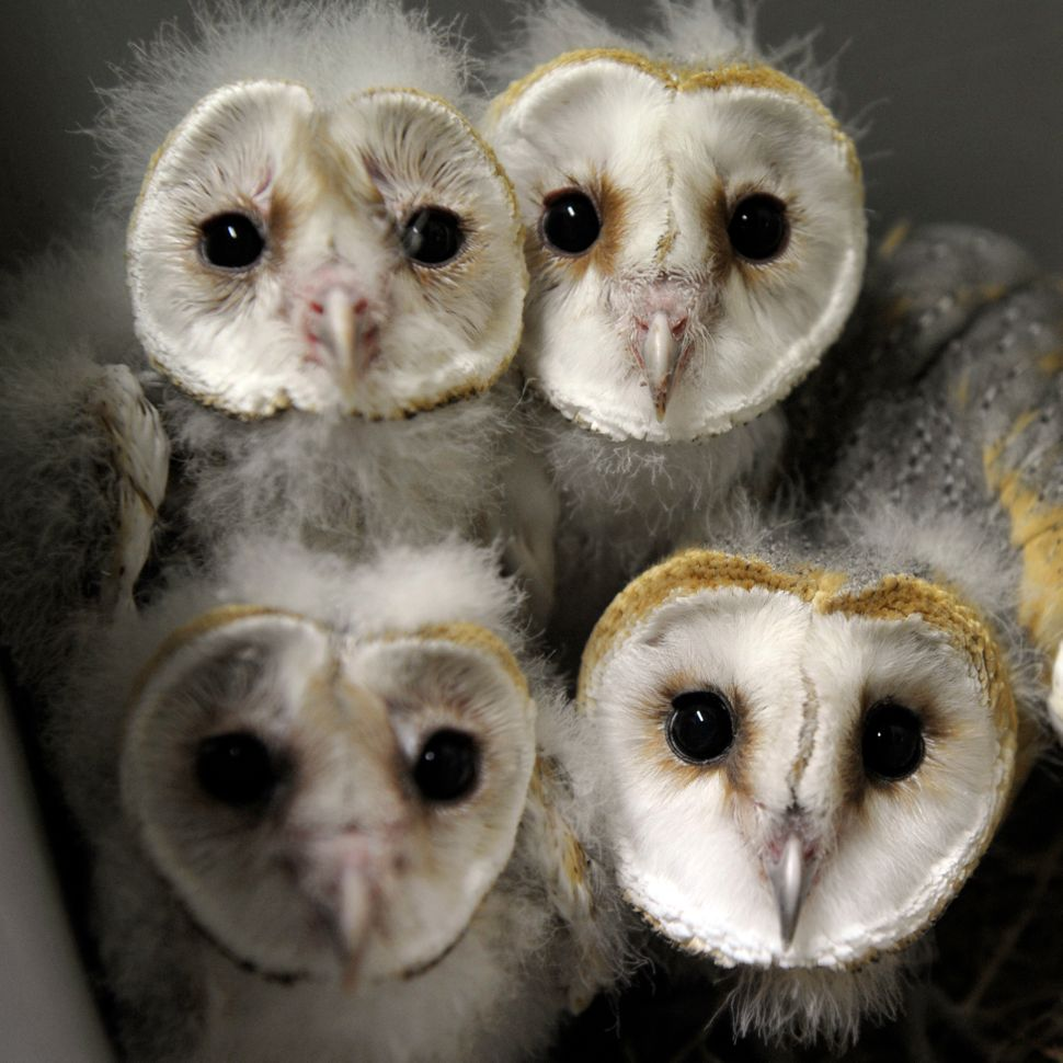 Barn Owl chicks (chouette-effraie) are pictured at the zoo of the French eastern city of Amneville, on July 8, 2013. (JEAN-CH