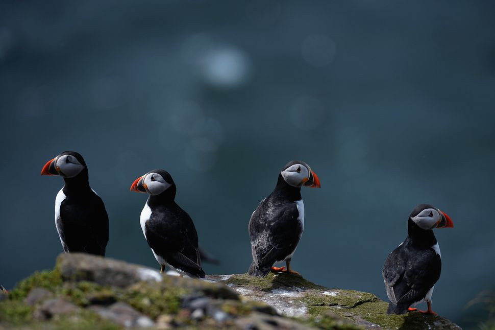Puffins return to their summer breeding grounds on the Farne Islands as National Trust rangers carry out a Puffin census on M