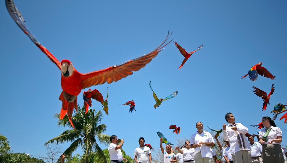 Hundreds of Scarlet macaws (Ara macaw) are released at Xcaret park, in the Mayan Riviera, near Playa del Carmen city, Mexico