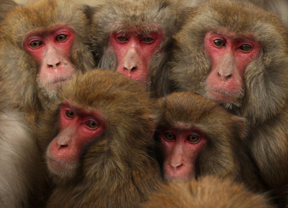 Japanese macaque monkeys huddle together in a group to protect themselves against the cold weather at Awajishima Monkey Cente