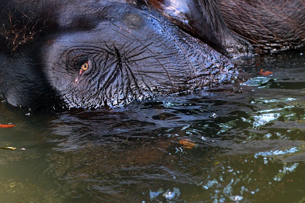 A Sri Lankan elephant bathes in a pond at Gangarama temple in Colombo on June 2, 2013.   (Ishara S.KODIKARA/AFP/Getty Images)