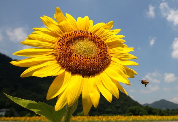 A bee flies in front of a sunflower planted on July 11, 2013 in Sayo, Japan. Approximately 1.2 million sunflowers are planted