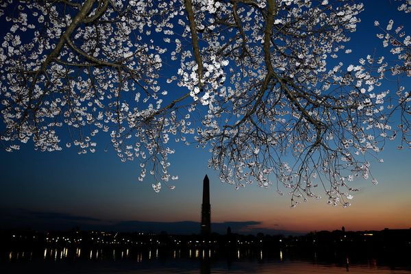 Cherry blossoms bloom on the edge of the Tidal Basin after a colder than normal March and chilly April delayed the beginning