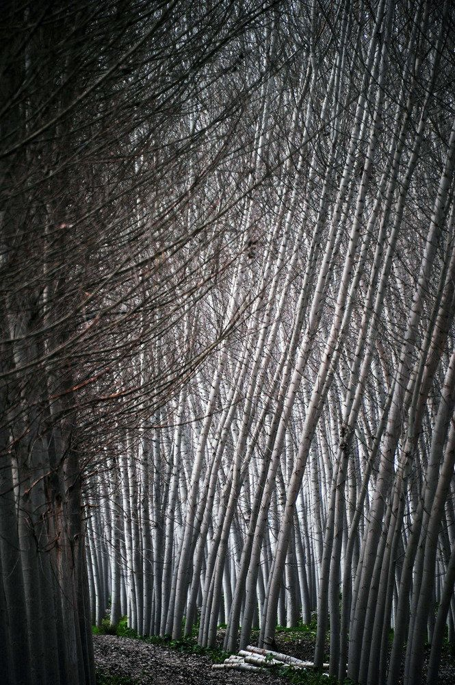 Black poplars are pictured at Fuente Vaqueros, near Granada on February 17, 2013. (Cristina Quicler / AFP / Getty Images)