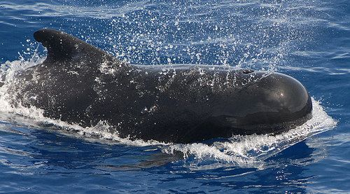Short-finned pilot whales made news in early December when the National Park Service reported a pod of 51 pilot whales on the