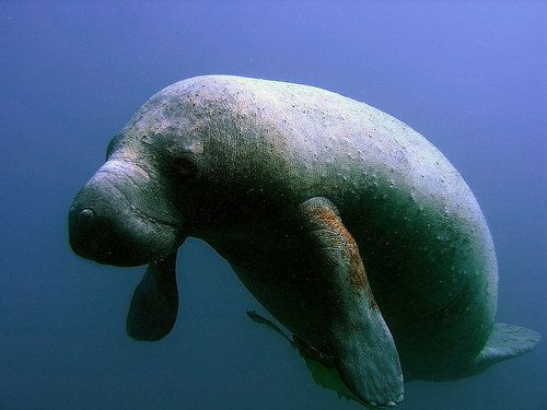 """As of December 20, <a href=""""http://myfwc.com/media/2600491/YearToDate.pdf"""" target=""""_blank"""">813 manatees have died</a> in Flor"""