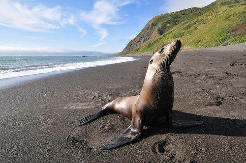 "<a href=""http://www.nmfs.noaa.gov/pr/health/mmume/californiasealions2013.htm"" target=""_blank"">Sea lion pup strandings</a> pea"