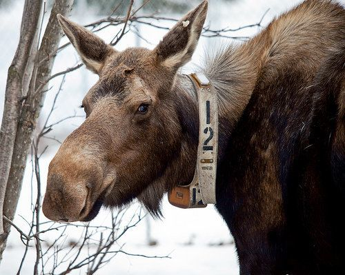 """Though not isolated as a 2013 event, moose die-offs have been puzzling scientists for years. And, they're <a href=""""http://www"""