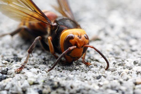 "<a href=""https://www.huffpost.com/entry/giant-asian-hornets-killing-people-china_n_4023249"" target=""_blank"">Giant Asian horne"